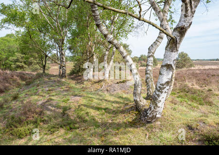 Birch tree on the heath in Elspeet Netherlands. - Stock Photo