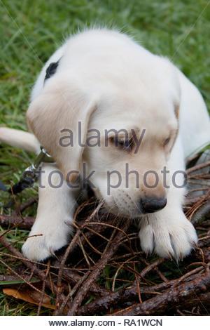 yellow Labrador retviever puppy dog - Stock Photo