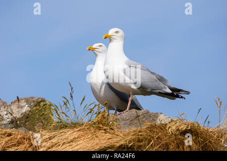 Herring Gull, Larus argentatus, Murray Isles, Solway Firth, Dumfries & Galloway, Scotland - Stock Photo