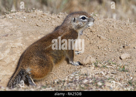Cape ground squirrel (Xerus inauris), adult, looking out from the burrow entrance, Mountain Zebra National Park, Eastern Cape, South Africa, Africa - Stock Photo