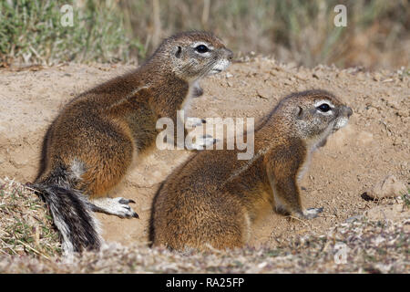 Cape ground squirrels (Xerus inauris), adults, looking out from the burrow entrance, Mountain Zebra National Park, Eastern Cape, South Africa, Africa - Stock Photo