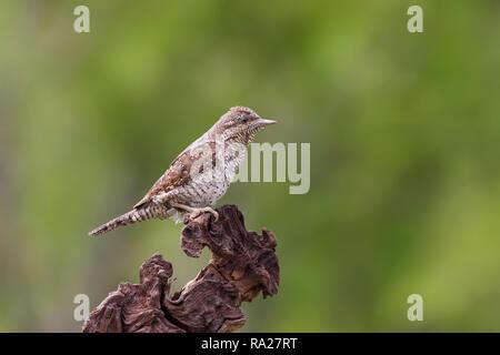 The Eurasian wryneck (Jynx torquilla) - Stock Photo