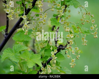 Red currant shrub Ribes rubrum  with flowers and foliage in spring - Stock Photo