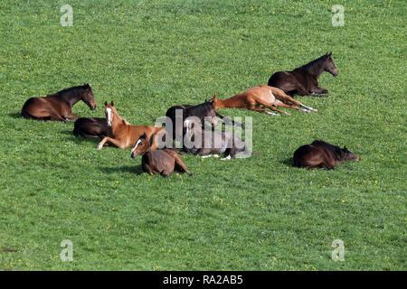 24.04.2018, Hessen, Gestuet Etzean, Pferde schlafen auf der Weide. 00S180424D247CARO.JPG [MODEL RELEASE: NOT APPLICABLE, PROPERTY RELEASE: NOT APPLICA - Stock Photo
