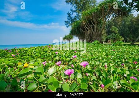 Goat's Foot or Morning Glory (Latin: Ipomoea pes-caprae), a creeping vine covering the upper beach reaches at Bang Tao Beach, Phuket Thailand - Stock Photo