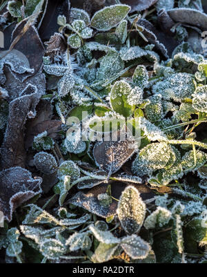 Detail of many different frozen and iced crisp leaves on the ground covered in frosted hoar frost a cold fresh winter morning - Stock Photo