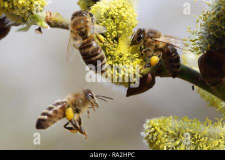 08.04.2018, Brandenburg, Briescht, Deutschland, Europaeische Honigbienen sammeln Pollen aus bluehenden Weidenkaetzchen der Salweide. 00S180408D264CARO - Stock Photo