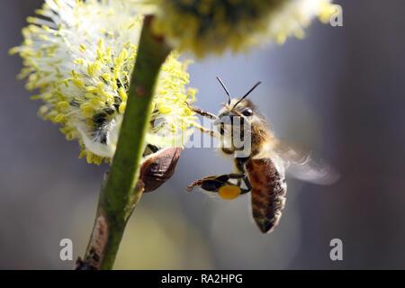 08.04.2018, Brandenburg, Briescht, Deutschland, Europaeische Honigbiene sammelt Pollen aus einem bluehenden Weidenkaetzchen der Salweide. 00S180408D26 - Stock Photo
