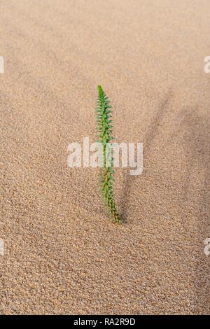 Euphorbia paralias growing on coastal sand dunes, Corralejo national park, Fuerteventura, Canary Islands, Spain - Stock Photo