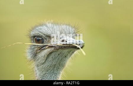 Portrait of an ostrich with a blade of grass in his beak looking away. - Stock Photo