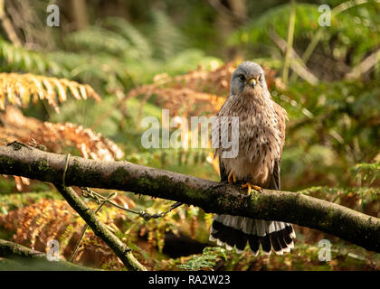 UK, Sherwood Forrest, Nottinghamshire  Birds of Prey Event - - Stock Photo