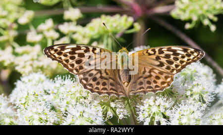 Silver-washed fritillary on Ground elder flower. Argynnis paphia. Aaegopodium podagraria. Form valesina. Butterfly close-up. Open wings. Bishop's weed. - Stock Photo
