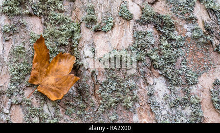 Close-up of maple bark texture with a fallen leaf. Acer. Beautiful natural background. Old faded deciduous tree trunk. Dry green moss. Abstract detail. - Stock Photo