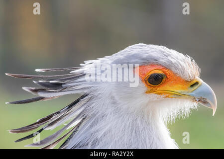 Secretarybird Close up portrait, African bird of prey (Sagittarius serpentarius) - Stock Photo
