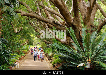 Visitors walking up the Camphor Avenue in Kirstenbosch National Botanical  Garden in Cape Town. - Stock Photo