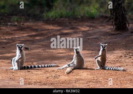 Three Ring-tailed lemurs (Lemur catta) sitting in red sand to sunbathe, Berenty Nature Reserve, Androy Region, Madagascar - Stock Photo