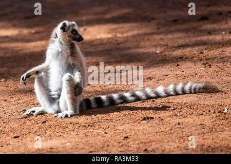 Ring-tailed lemur (Lemur catta) sitting in red sand, Berenty nature reserve, Androy region, Madagascar - Stock Photo