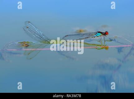 Red-eyed Damselfly (Erythromma najas), pair laying eggs in water, Bavaria, Germany - Stock Photo