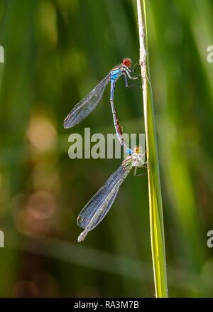 Red-eyed Damselfly (Erythromma najas), pair with mites when pairing on blades of grass, Bavaria, Germany - Stock Photo