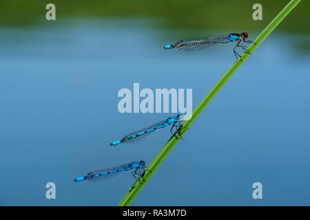 Red-eyed Damselfly (Erythromma najas) and two Common blue damselflies (Enallagma cyathigerum) sitting on blades of grass, male - Stock Photo