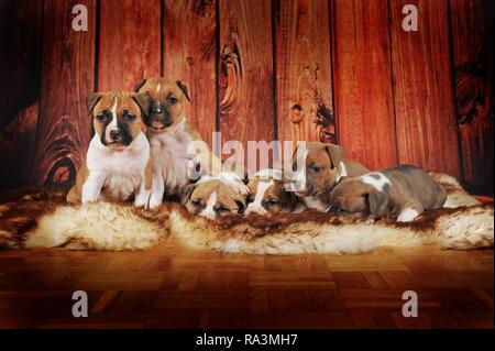 American Staffordshire Terrier, group of puppies 4 weeks, red-white, lying on fur blanket, Austria - Stock Photo