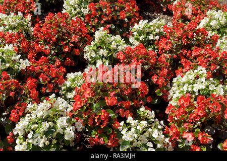 Wax begonia (Begonia x semperflorens-cultorum), white and red, Germany - Stock Photo