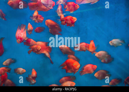 Many red fish in a blue aquarium - Stock Photo