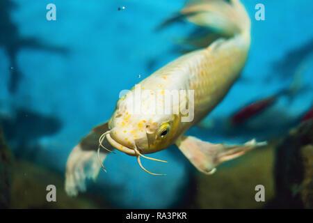 Beautiful white fish on a blue background - Stock Photo