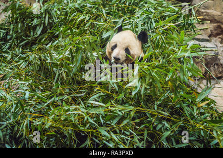 Giant panda Ailuropoda melanoleuca eating bamboo. Wildlife animal - Stock Photo