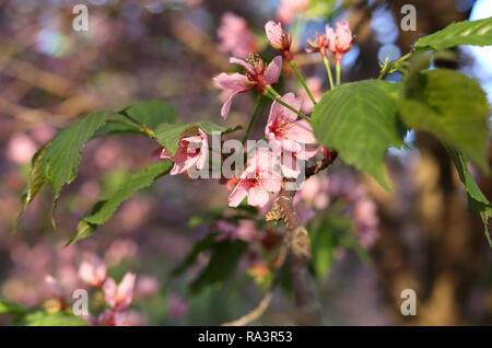Beautiful Japanese cherry blossoms. These pink beauties are still attached to a cherry tree branch. In this close up photo the flowers are blooming. - Stock Photo