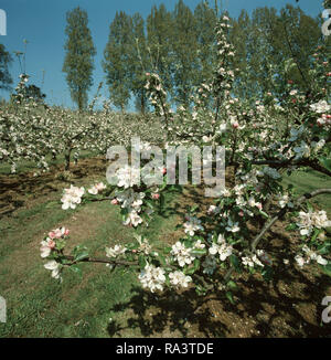 An apple orchard (Malus communis) in a natural setting in full bloom in spring, Devon - Stock Photo