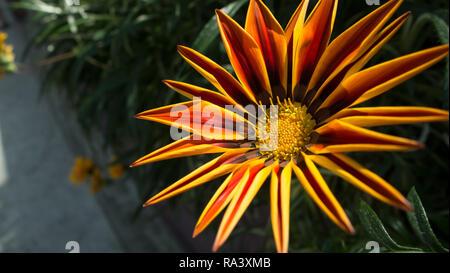 Red, orange and yellow gazania in bloom - Stock Photo