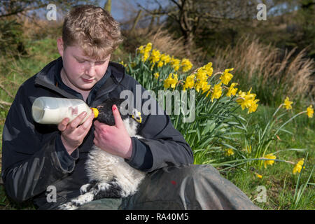 Teenage boy feeding a young lamb with a bottle of milk, Cumbria, UK. - Stock Photo