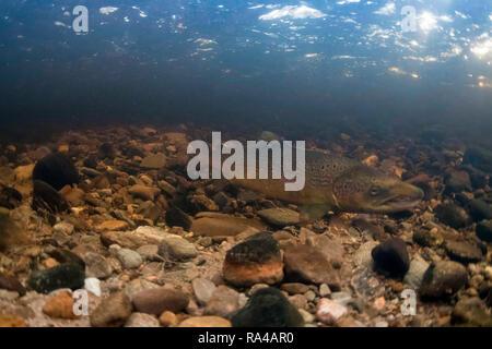 Atlantic salmon, salmo salar, adukt male on redd (nest) during breeding season, novermber, river livet, cairngorms, - Stock Photo