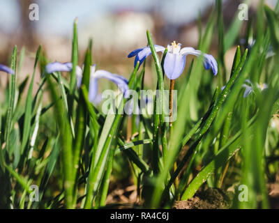 Early, bright, spring crocus and scilla flowers on the background of last year's grass - Stock Photo