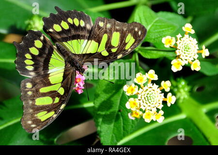 A Malachite butterfly lands on a flower in the gardens. - Stock Photo