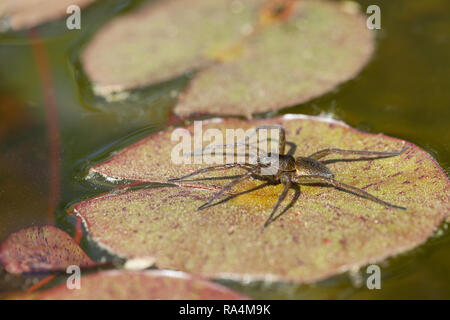 Great raft spider - Stock Photo