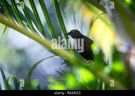 Carib Grackle sitting on palm tree in garden,  Trinidad and Tobago, black bird perching on branch, colorful and beautiful background, exotic adventure - Stock Photo