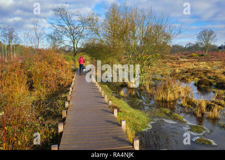 Dog walker on boardwalk footpath trail through Kent Wildlife Trust nature reserve SSSI in winter. Hothfield Heathlands Ashford Kent England UK Britain - Stock Photo