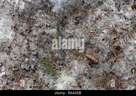 Spruce tree needles, cones and small rocks during winter on top of snowy ground. Beautiful background photo with earthy tones. - Stock Photo