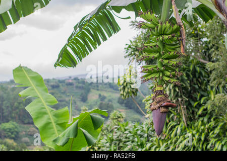 Banana tree with a long stock of unripened bananas and purple banana flower at the bottom of the stock, with lush hills in the background, Costa Rica - Stock Photo
