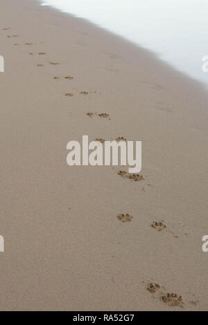 Dog paw prints in the sand - Stock Photo