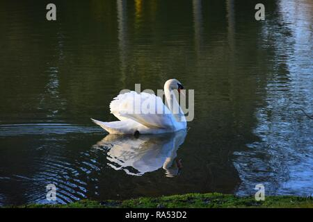 A white swan swimming in a lake in the late afternoon sun, the sun shining from the back in its feathering. Leafless trees reflecting in the water. - Stock Photo