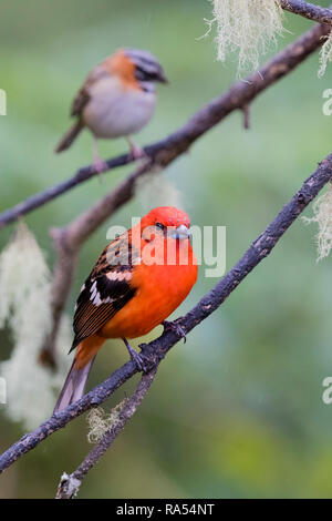Flame colored tanager and Rufous-collared sparrow, Costa Rica - Stock Photo
