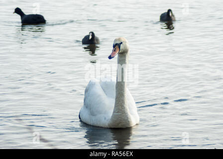 Mute swan approaching the shore, accompanied by three Eurasian coots. Gaasperplas, Park, Amsterdam South-East, the Netherlands in the icy waters of Ga - Stock Photo