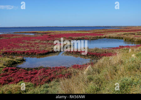 Field with red salicornia Salt-tolerant plant. Saltwort plant (Salicornia sp.) growing in a soil with a high salt content. This plant is growing in th - Stock Photo