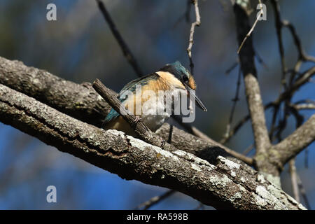 An Australian, Queensland Immature Sacred Kingfisher ( Todiramphus sanctus ) perched on a tree branch resting - Stock Photo
