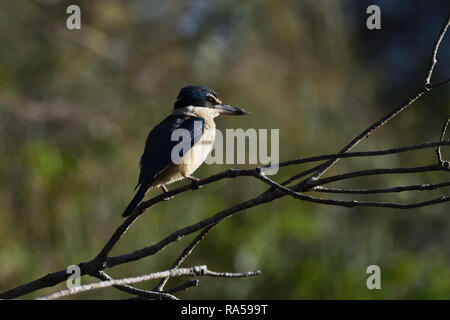 An Australian, Queensland Female Sacred Kingfisher ( Todiramphus sanctus ) perched on a tree branch resting - Stock Photo