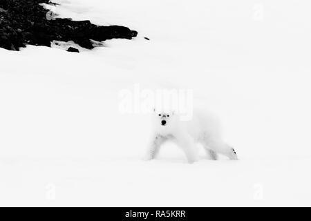 Yearling polar bear cub (Ursus maritimus) walking on the ridge of a glacier, Björnsundet, Hinlopen Strait, Spitsbergen Island - Stock Photo