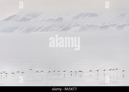 Flock of Thick-billed Murres (Uria lomvia) or Brunnich's guillemots Lying over Hinlopen Strait, Spitsbergen Island - Stock Photo